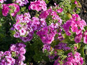 Fotos Phlox Großansicht Rosa Farbe