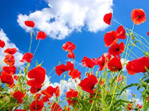 Fotos Mohn Himmel Rot Wolke Blumen
