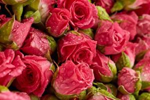 Hintergrundbilder Rosen Großansicht Tropfen Rosa Farbe Blumen