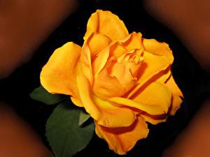 Hintergrundbilder Rosen Großansicht Gelb Blumen