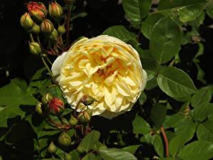 Hintergrundbilder Rosen Großansicht Gelb Blütenknospe Blumen