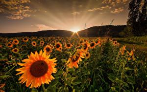 Fotos Sonnenaufgänge und Sonnenuntergänge Felder Sonnenblumen Natur