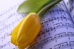 Bilder Tulpen Großansicht Noten Gelb Tropfen Blumen