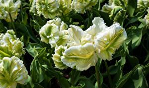Bilder Tulpen Großansicht Parrot Tulips Blumen