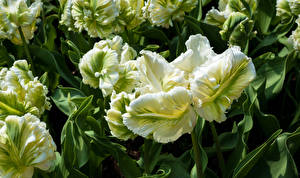 Bilder Tulpen Großansicht Parrot Tulips Blüte