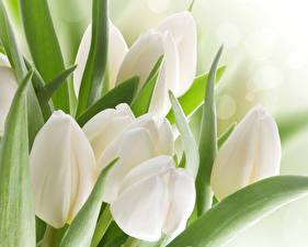Hintergrundbilder Tulpen Großansicht Weiß Blumen