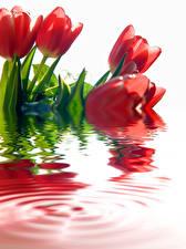 Hintergrundbilder Tulpen Wasser Rot Blumen