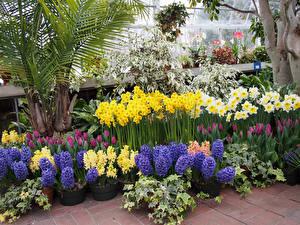 Bilder USA Garten Hyazinthen Narzissen Tulpen Hidden Lake Gardens
