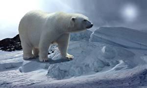 Wallpaper Bears Polar bears Snow