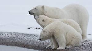 Wallpapers Bears Polar bears Three 3