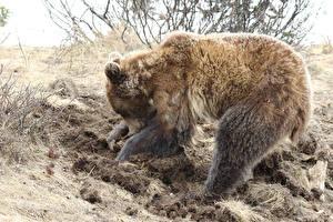 Hintergrundbilder Bären Braunbär
