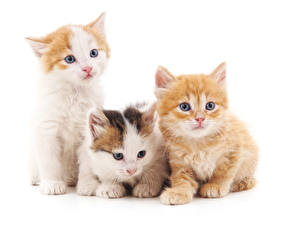 Pictures Cat White background Three 3 Kittens Glance animal