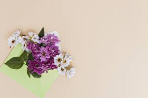 Hintergrundbilder Chrysanthemen Farbigen hintergrund