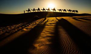 Hintergrundbilder Wüste Altweltkamele Sand Silhouetten Natur