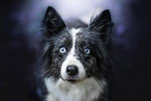 Hintergrundbilder Hunde Border Collie Starren