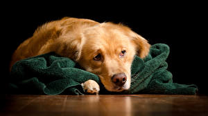 Hintergrundbilder Hunde Golden Retriever Schnauze