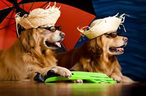Bilder Hunde Golden Retriever Zwei Der Hut Brille