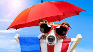 Fotos Hunde Jack Russell Terrier Brille Regenschirm Schnauze Tiere