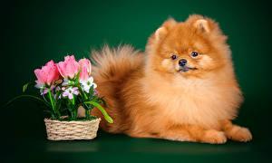 Hintergrundbilder Hund Tulpen Farbigen hintergrund Spitz Blick
