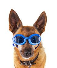 Fotos Hunde Weißer hintergrund Schnauze Shepherd Brille Lustiger ein Tier