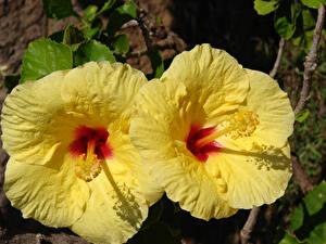 Fotos Eibisch Großansicht Gelb 2 Blumen