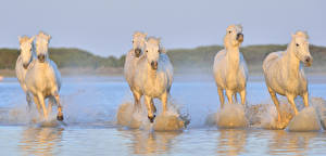 Pictures Horse Water White Running Animals