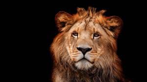 Hintergrundbilder Löwen Schwarzer Hintergrund Blick Schnauze