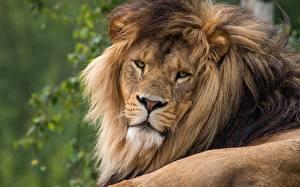 Hintergrundbilder Löwe Blick ein Tier