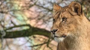 Fotos Löwe Löwin Blick Tiere