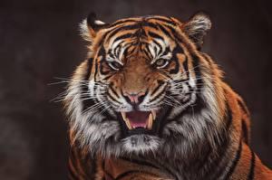 Bilder Tiger Eckzahn Grinsen Schnauze Blick Tiere