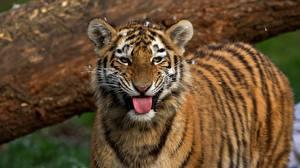 Bilder Tiger Starren Zunge