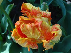 Hintergrundbilder Tulpen Großansicht Blumen