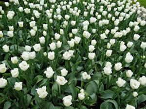 Fondos de escritorio Tulipa Muchas Blanco flor