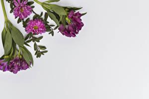 Bilder Inkalilien Chrysanthemen Großansicht Grauer Hintergrund