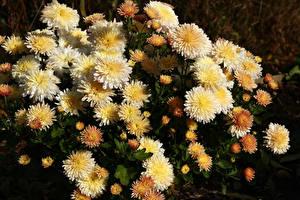 Hintergrundbilder Chrysanthemen Großansicht