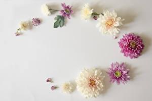 Fotos Chrysanthemen Grauer Hintergrund Blumen