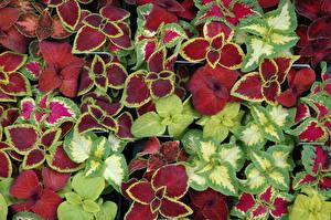 Fotos Buntnesseln Blattwerk Bunte Blüte