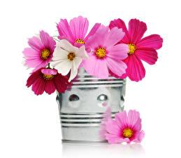 Hintergrundbilder Kosmeen Großansicht Weißer hintergrund Eimer Blüte