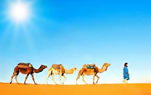 Bilder Wüste Altweltkamele Drei 3 Tiere