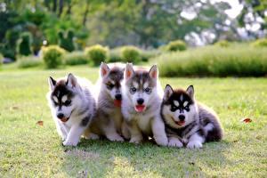 Fotos Hunde Siberian Husky Welpe Gras Vier 4