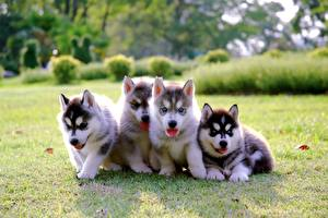 Papel de Parede Desktop Cachorro Husky siberiano Filhotes Grama Quatro 4 Animalia