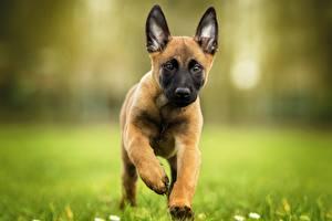 Hintergrundbilder Hund Welpen Laufen Shepherd Belgischer Schäferhund