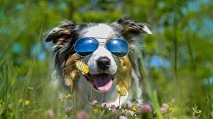 Bilder Hunde Brille Lustiger Australian Shepherd Tiere