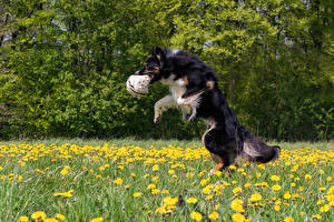 Fotos Hunde Gras Border Collie Ball Sprung Tiere