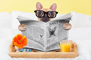 Picture Dogs Newspaper Glance Glasses Bulldog Funny Animals
