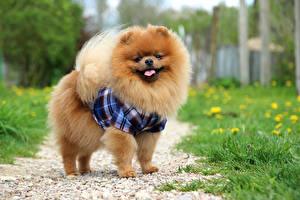 Bilder Hund Spitz Blick