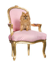 Image Dogs White background Chairs Spitz Animals