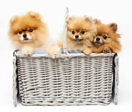 Pictures Dog White background Wicker basket Three 3 Puppies Spitz animal