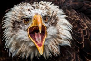 Wallpaper Eagle Birds Head Beak Tongue Staring