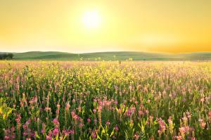 Bakgrunnsbilder Åker Lavendelslekta Lupiner Solen Natur